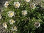 Stemless Carline Thistle (Carlina acaulis)